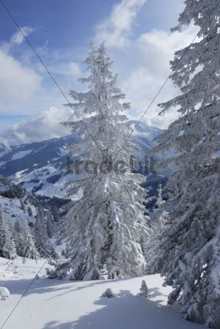 Snow-covered spruces in the mountains, Wendelstein Mountains, Bavaria, Germany, Europe