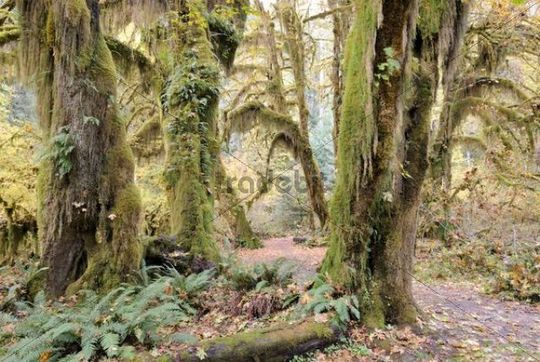 Pathway through giant trees overgrown with moss, ferns and lichens, Hoh Rain Forest, Olympic Peninsula, Washington, USA
