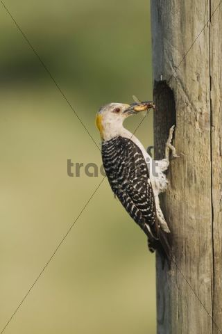 Golden-fronted Woodpecker (Melanerpes aurifrons), male at nesting cavity with insect prey, Sinton, Corpus Christi, Texas, USA