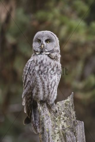 Great Grey Owl (Strix nebulosa), adult on tree stump, Yellowstone National Park, Wyoming, USA