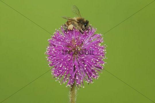 Honey Bee (Apis mellifera), adult feeding on Sensitive Briar flower (Mimosa nuttallii), Sinton, Corpus Christi, Texas, USA