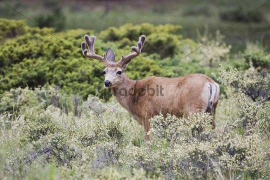 Mule Deer, Black-tailed Deer (Odocoileus hemionus), buck in velvet, Rocky Mountain National Park, Colorado, USA