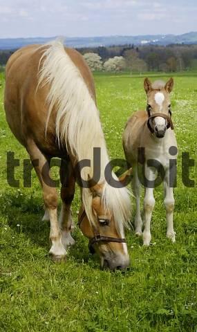 11 days old Haflinger foal with Mutter auf der Weide