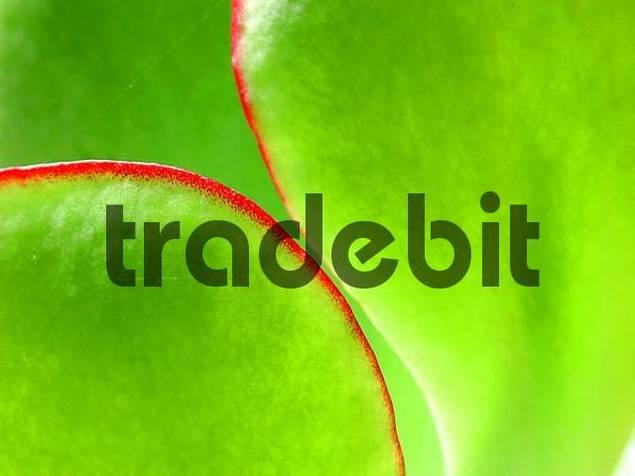 Orchid Cactus, leaf detail / Epiphyllum hybride