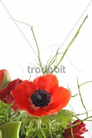 Poppy anemone, Spanish marigold (Anemone coronaria)