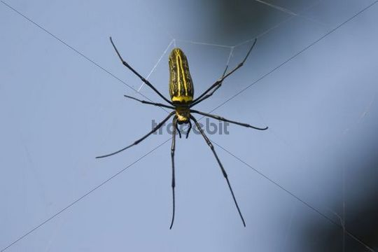 Giant Wood Spider (Nephila maculata), Pench National Park, Madhya Pradesh, India