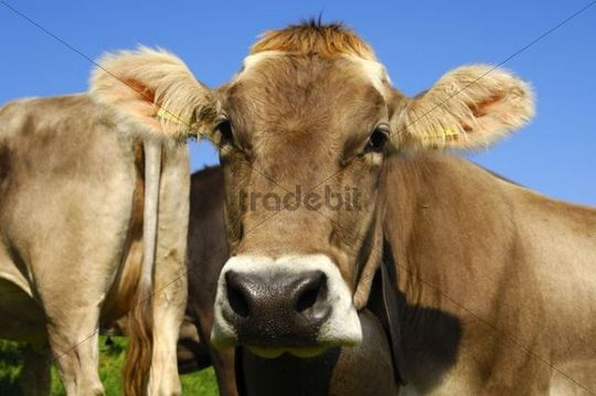 Hornless Brown Swiss dairy cow looking towards the camera, Vaud, Switzerland, Europe