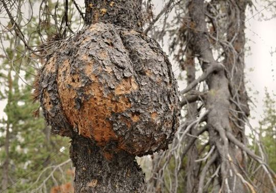 Tree cancer on a Scots Pine (Pinus sylvestris), typical for the Pumice Desert, Oregon, USA