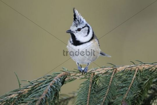 Crested Tit (Parus cristatus) perched on a branch of a fir tree