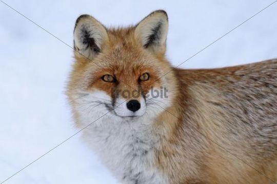 Red Fox (Vulpes vulpes), portrait