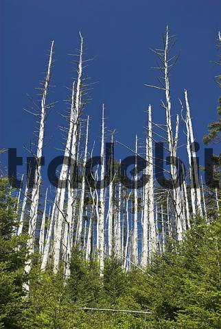 Dead trees on Clingmans Dome, Great Smokey Mountains National Park, North Carolina and Tennessee, USA