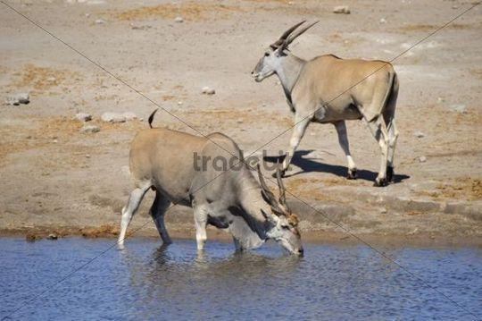 Common Eland (Taurotragus Oryx) drinking at Chudop Waterhole, Etosha National Park, Namibia, Africa