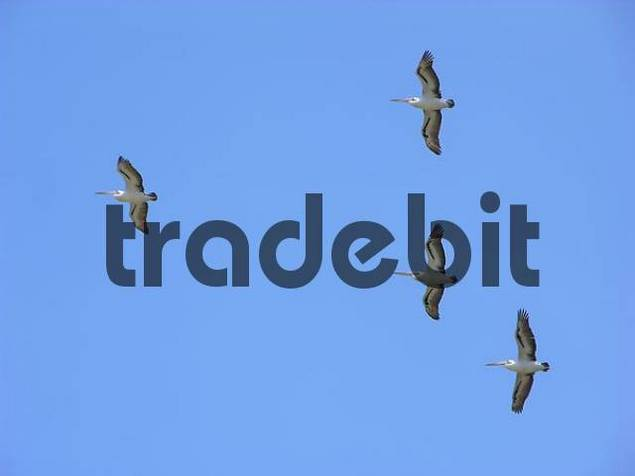 Pelicans over Pelican Island, New South Wales, Australia