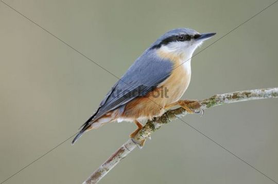 Eurasian Nuthatch (Sitta europaea) perched on a branch