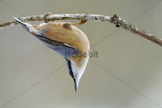 Eurasian Nuthatch (Sitta europaea) hanging on a branch