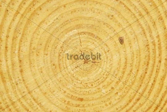 Horizontal cross section of a Scot´s Pine (Pinus sylvestris), stump with annual growth rings