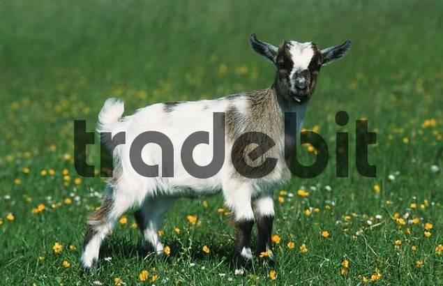 Goat, kid / side