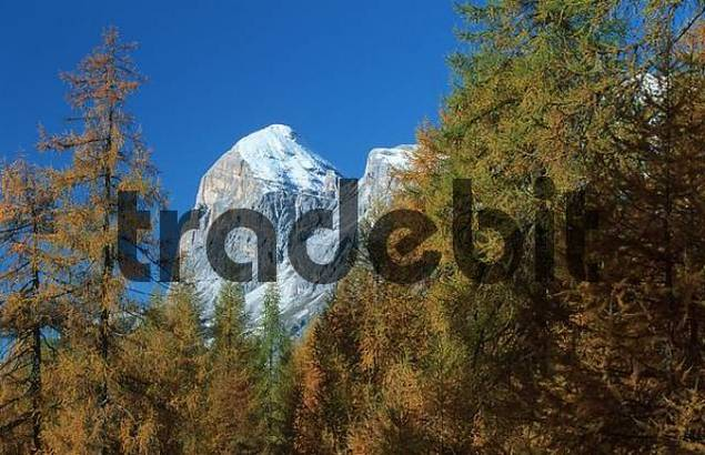 European Larchs and mountain peak, Dolomites, South Tyrol, Italy / Larix decidua