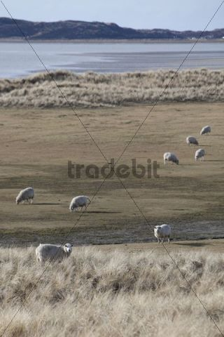 Sheep in dunes, Nationalpark Koenigshafen, Westellenbogen, Sylt Island, North Frisia, Schleswig-Holstein, Germany, Europe