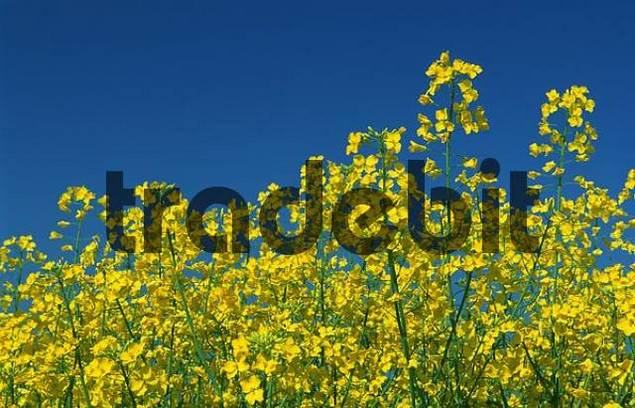 Rape in blossom, Bavaria, Germany / Brassica spec.