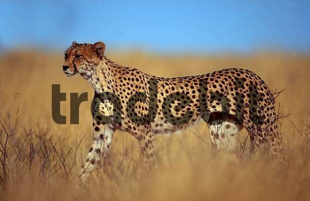 Cheetah, Kalahari Gemsbok Park, South Africa / Acinonyx jubatus