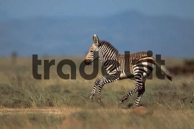Mountain Zebra, foal, Mountain Zebra Park, South Africa / Equus zebra zebra