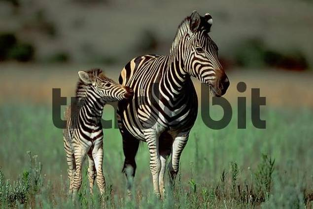 Burchells Zebras, mare with foal, Pilanesberg Park, South Africa / Equus quagga burchelli