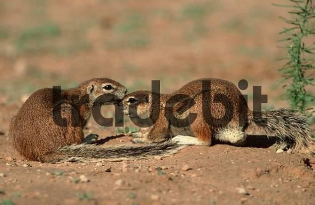 Cape Ground Squirrels, Kalahari Gemsbok Park, South Africa / Xerus inauris