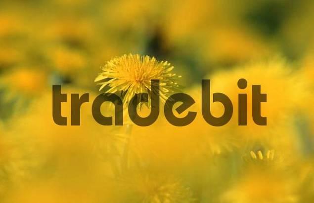 Dandelion, Schleswig-Holstein, Germany / Taraxacum officinale