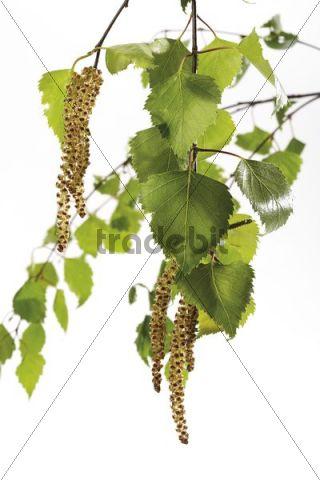 Flowering birch, birch pollen, leaves