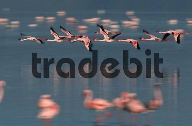 Lesser Flamingos at lake Nakuru, Nakuru national park, Kenya / Phoenicopterus minor