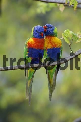 Rainbow Lories, pair, Australia / Trichoglossus haematodus moluccanus