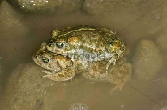Natterjack Toads (Bufo calamita), pair before spawning