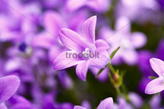Bellflowers (Campanula)