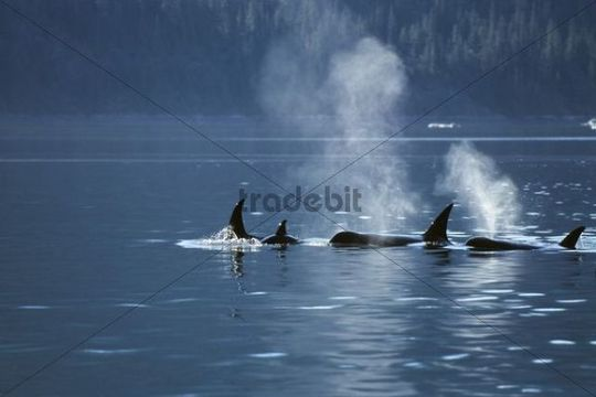 Orcas blowing (Orcinus orca), Inside Passage, Alaska, USA