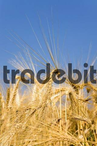 Ripe barley-ears with their long beards