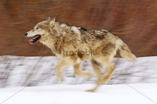 Wolf (Canis lupus) running through snow, Montana, USA