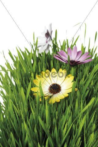 Grass and flowers, Glandular Cape Marigold (Dimorphotheca sinuata)