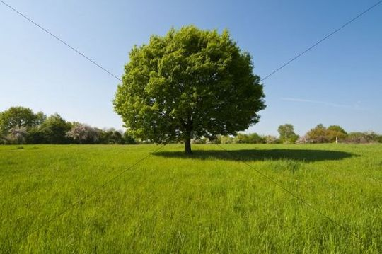 Tree, oak tree, on green meadow, Wiesbaden, Taunus, Hesse, Germany