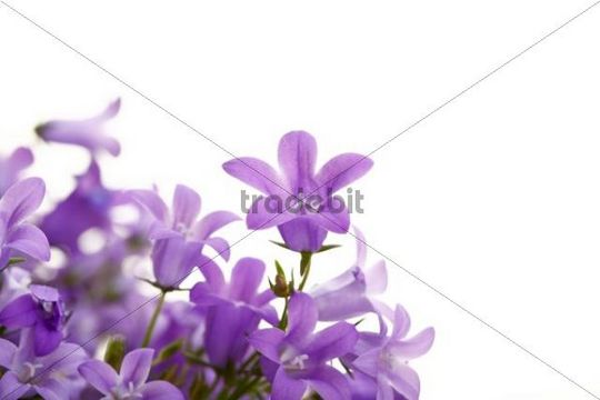 Bellflowers (Campanula)