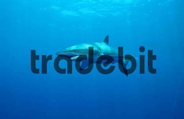 Silky Shark, Red Sea / Carcharhinus falciformis, Carcharhinus menisorrah