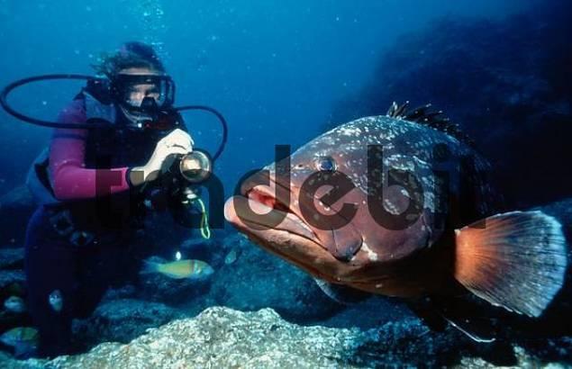 Diver and Dusky Grouper, Atlantic / Epinephelus marginatus