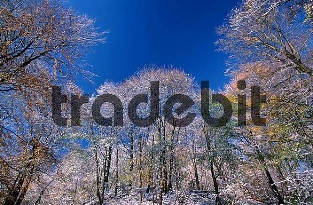 Mixed Forest in autumn with first snow, Hessen, Germany