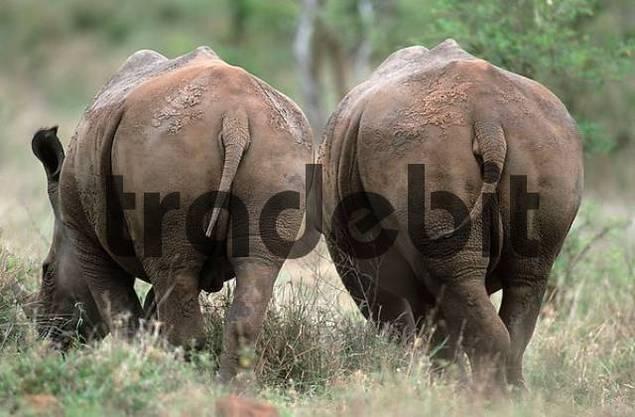 Black Rhinocerosses, Kruger national park South Africa / Diceros bicornis
