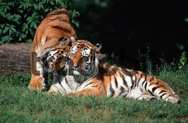 Siberian Tiger, pair / Panthera tigris altaica