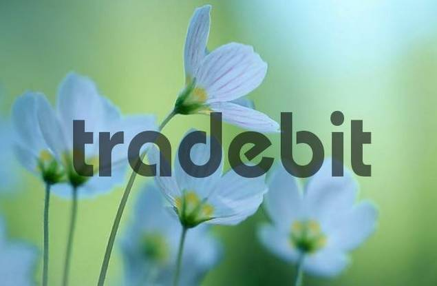 Wood Sorrel, Lower Saxony, Germany / Oxalis acetosella