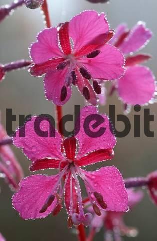 Rosebay Willowherb, Lower Saxony, Germany / Epilobium angustifolium