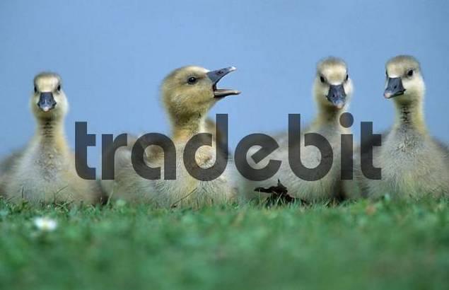 Graylag Geese, goslings, Lower Saxony, Germany / Anser anser