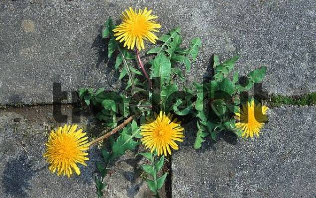 Dandelion growing between stones, Lower Saxony, Germany