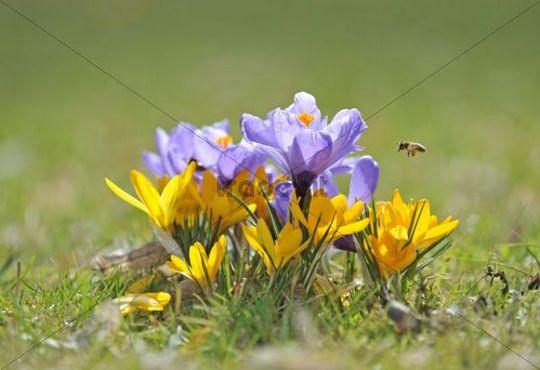Purple Crocus (Crocus) and a Honey Bee (Apis mellifera)